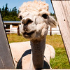 Hi there!  I stayed at the State House Inn on San Juan island. They run a B&B as well as an alpaca farm and encourage guests to head out back with carrots and visit the alpacas who are only too happy to see anyone with treats.