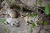 Yellow-Spotted Rock Hyrax (Bush Hyrax)