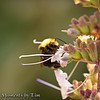 Bumble-bee on Sage