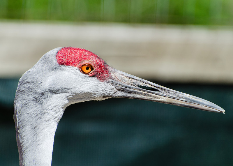Sand hill crane in the Wild Bird Sanctuary.