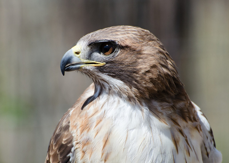 Hawk profile.