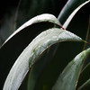 Agave and Dew