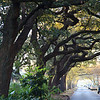 Oak trees lining Esplanade Avenue in the French Quarter, New Orleans.