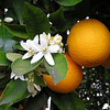 Washington Navel Sweet Orange Dwarf 8-12' Standard 20-25' Early to Mid Winter fruit