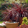 Cordyline Festival Grass 'Burgundy'<br /> Amazing year round color<br /> Makes a beautiful accent either potted or in ground<br /> Low water needs<br /> Part sun in hottest climates<br /> to 3x3' w x h <br /> Moderate growth
