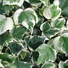"Variegated Algerian Ivy<br /> Large leaves 4-6"" wide<br /> Spreading - low growing to 12"" ht<br /> Striking foliage<br /> Low water - low maintenance<br /> Keep off of trees"