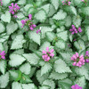 Lamium 'Orchid Frost'<br /> Part sun to shade