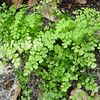 Fern Maidenhair CA Native