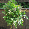 Nandina domestica - young (Heavenly Bamboo) Part sun Little to regular water Slow growing to 6-8' Ht