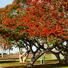 Kaffirbom Coral Tree at Dennis V Allen Park in San Diego, California.<br /> Erythrina (Coral Tree) - deciduous to evergreen, 30ft. tall X 50ft. wide (+/-), orange flowers in late winter, light green foliage.
