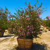 "Melaleuca nesophila 36"" box nursery specimen Evergreen Sprawling form"