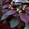 Euphorbia cotinifolia - Foliage close up <br /> Beautiful coppery purple color with dark green undertones<br /> Large shrub can be easily pruned to tree like form<br /> Fast growing<br /> Low water Full Sun<br /> Deciduous - leafs out early in Spring<br /> 25-30' Ht x 10'w