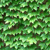 Boston Ivy Spring green Clinging vine Non invasive