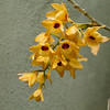 Orchid flowers on a very fragrant Dendrobium Moschatum orchid