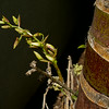Orchid flower buds Dendrobium Moschatum, next to a Hyophorbe Indica palm trunk.