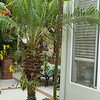 Agave Stricta flower stalk blending in with the background, is now over 7' high,, between corner of house and the pygmy date palm.