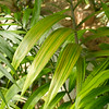 Dypsis Lanceolata palm leaflet showing variegation of color next to a Chamaedorea palm with narrower solid green leaves.