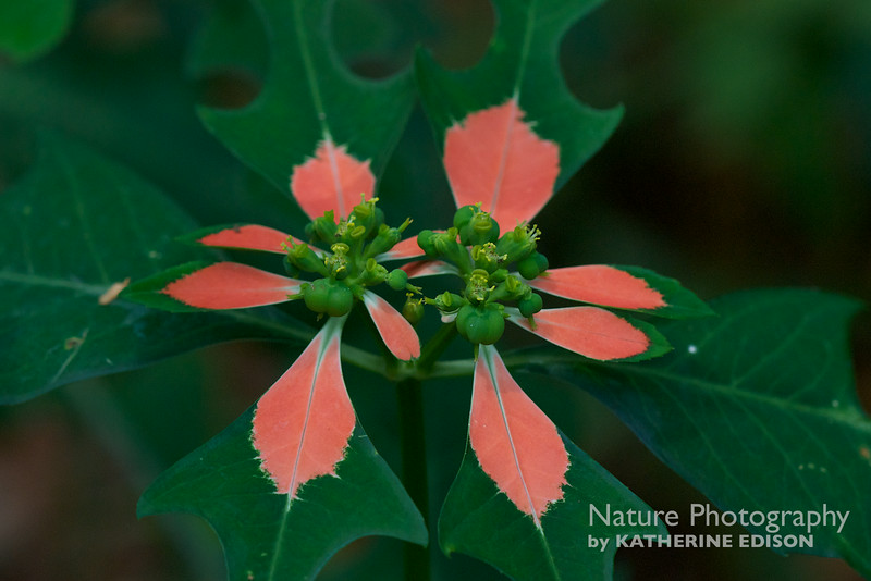 Paintedleaf; Fire on the Mountain. Euphorbiaceae (Spurge family)