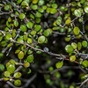 Wire-netting bush / korokio (Corokia cotoneaster). Bush Stream, Canterbury.
