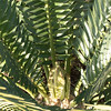Looking down onto a new flush of leaves, Encephalartos natalensis x horridus 4/06/2015