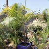 Tri-teddy palm with long new spike Dypsis leptocheilos x decaryi