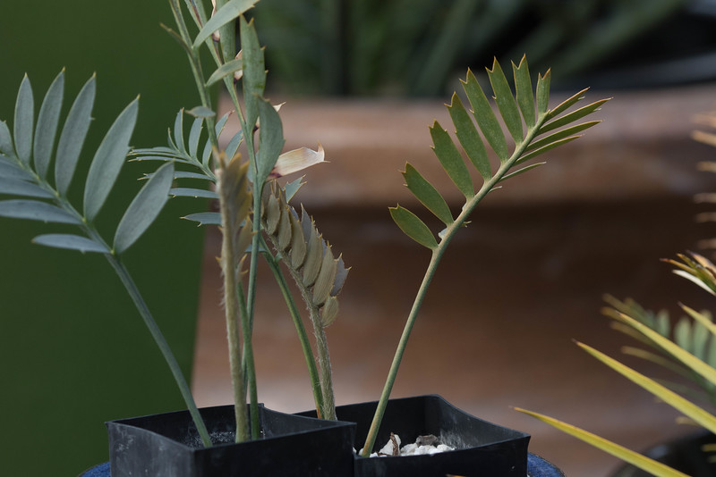 A pair of seedlings flushing, Encephalartos arenarius x latifrons 5/22/2015