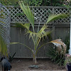 Pritchardia maideniana palm, native to Hawaii.  Finally getting this into the ground