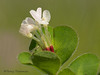Clover species - Trifolium sp