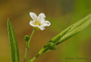 Big-leaved Sandwort, Meohringia macrophylla