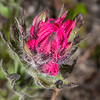 Mountain Indian paintbrush or small-flowered paintbrush (Castilleja parviflora). Paradise, Mount Rainier National Park