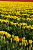 Tulip Field 3, Skagit County, Washington, 2000