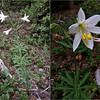 Washington Lily—Lilium washingtonianum