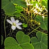 Wood Sorrel—Oxalis oregana