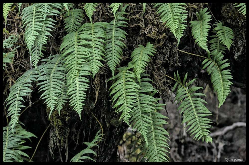 Licorice Ferns ~ Polypodium glycyrrhiza