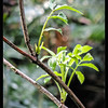 Pacific Red Elderberry ~ Sambucus racemosa