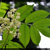 Red Elderberry ~ Sambucus racemosa