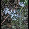 Queen Anne's Lace ~ Daucus carota