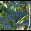 Woody Nightshade and Berries ~ Solanum dulcamara