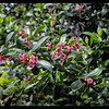 Pink Escallonia macrantha