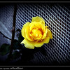 Golden Showers rose...my roses...©PhotosRUs2008