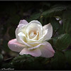 Pristine rose...my rose's...©PhotosRUs2008
