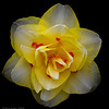 "'Daffodil Festival #3'  ~Double Daffodil~ Gibbs Gardens Ball Ground, GA  An Open Edition Matted 16""x 20""  Luster  paper (12mil)  ©2014 R. Gallet"