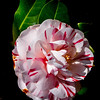 "' March Camellia '  Gibb's Garden Ballground, GA  Matted 16""x20"", on Luster Photo paper (12 mil)"