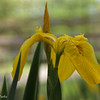 5-18-15: Iris at Wildwood