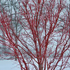 3-5-15: Red twig, in snow