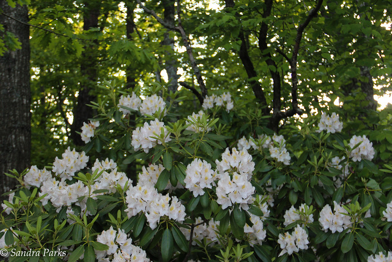 5-23-15: in the land of the mountain laurel
