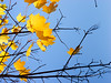 Last golden leaves on maple tree against clear blue sky at Autumn