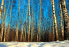 Winter birch forest at sunset