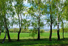 Spring landscape with birch trees