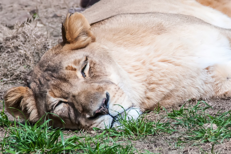 lioness resting on ground